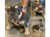 Lilac/Blue Tan French bulldog frenchies Kc. Ready .. Don Choc Lines
