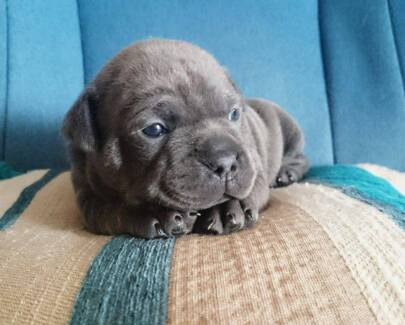 Puppies: Certified Pedigree Staffordshire Bull Terriers (English) Burpengary Caboolture Area Preview