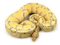 Banana Royal python Female
