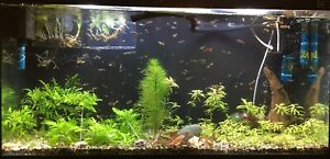 guppies for sale