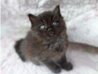 mixed ragdoll female kitten