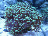 Frogspawn Coral for Sale Clapham, London