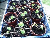 Aquilegia plug plants - just starting to throw new leaves for the Spring