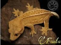 Crested geckos adult