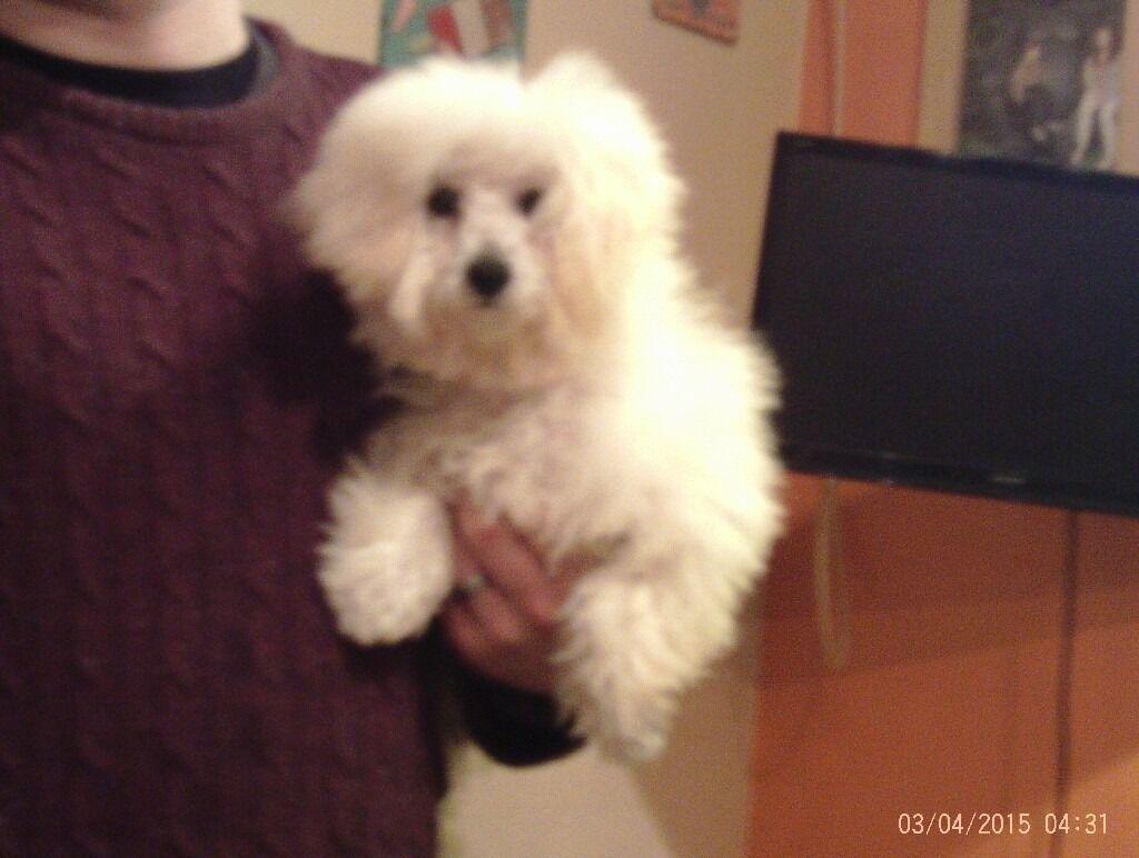Maltichon (Bichon Frise x Maltese Terrier) 6 Month Old ...