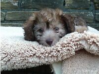 toy poodle x jackrussel puppies