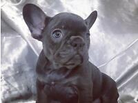 French Bulldog girl pup off Health Tested parents, ready now