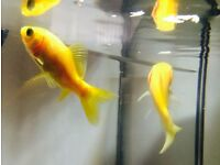TWO AQUARIUM FISH FOR SALE + TANK + ORNAMENTS + FISH FOOD + WATER CONDITIONER & MORE