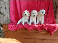 Beautiful cockapoo puppies #Reduced!!