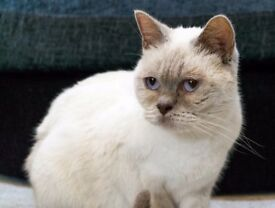 Pedigree British Shorthair Female