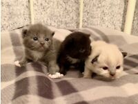 Lilac point British short hair kittens🔴ALL BOOKED🔴