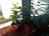 Plants - two bay trees - very sturdy