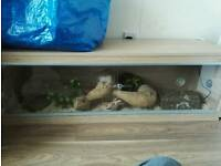 Corn snake and 4ft vivarium