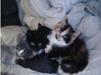 THREE BEAUTIFUL KITTENS ,READY TO GO TO THEIR NEW HOMES,,ALL GIRLS