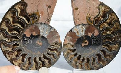 9781 RARE 1in100 BLACK Ammonite PAIR Deep Crystals 110myo FOSSIL XXL 139mm 5.5""