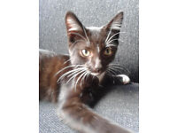 *MISSING KITTEN* Help us find Sindbad! £50 REWARD!! Chapel Allerton!