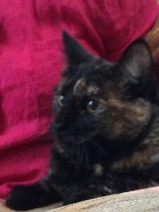 Beautiful Maine and Calico Female Cat Re-home Immediately