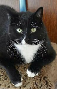 "Adult Male Cat - Domestic Short Hair-black and white: ""Nini"""