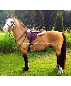 Welsh Pony Gelding For Lease