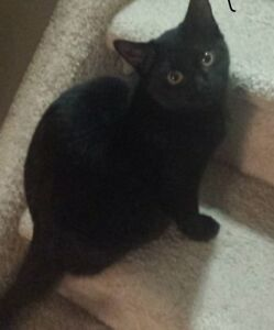Shadow - Lost Female Cat - Black Shorthair