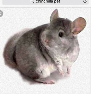 Looking for a Chincilla