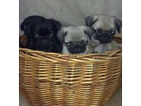 Gorgeous Pug pups