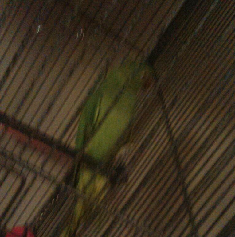 Ringneck Parrot For Sale uk Indian Ringneck Parrot For Sale 50 Pounds United Kingdom Gumtree