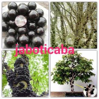 Unusual Tropical Fruit Trees and Plants for sale from $10
