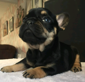 Kc reg french bulldogs