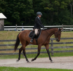 14 year Thoroughbred mare