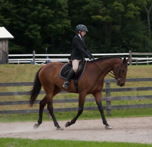 14 year old Thoroughbred mare