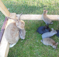 New Zealand Mix Baby Rabbits for Sale