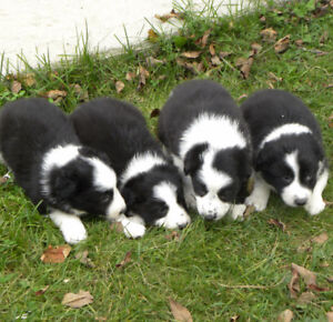 Border Collie Puppies - best bread, and they will go fast