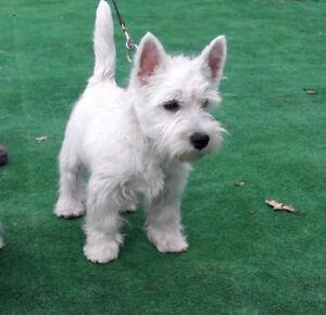 Purebred West Highland Terrier Puppies