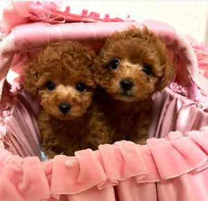 NEW❤cute red tiny toy poodle puppies ready to go new home~~~~