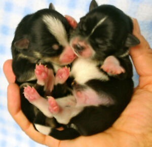 CHIHUAHUA PUPPIES - purebred, teacup, apple head