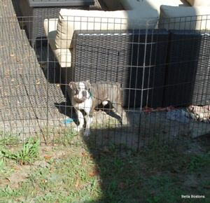 Blue Boston Terrier - CKC adult male