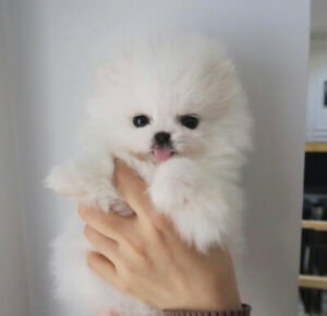 Teacup Pomeranian | Adopt Dogs & Puppies Locally in Canada | Kijiji