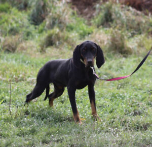 Year old FEMALE BLACK & TAN COONHOUND & 5 month pups