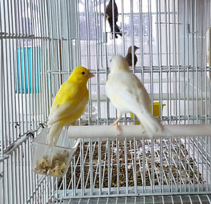 Russian canaries