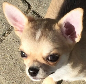 CHIHUAHUA PUPPIES ❤ GORGEOUS & CKC REGISTERED