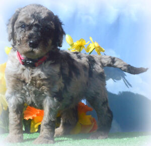 Medium and Standard size Aussiedoodle Puppies are HERE !