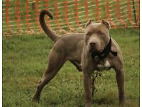 ABKC Xl Bully pups Ready to leave!!!