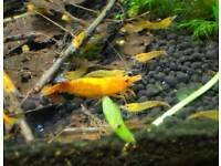 Orange cherry shrimp great colour