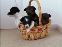 Beautiful 100% original PUPPIES of Jack Russell Terrier Miniature (short legged) Bath Somerset