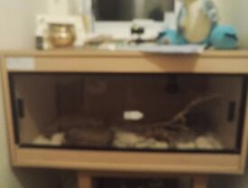 Corn Snake and Vivarium including accessories