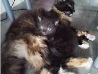 3 beautiful male kittens ready 6th july