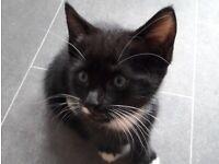 PENDING Black and White kitten ready to go