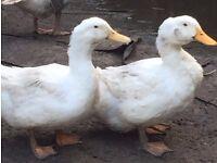 Female Aylesbury Ducks