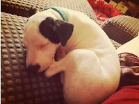 Gorgeous staffie for sale, sad sale due to being pregnant & moving.